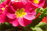 Botanical, CLOSE, closeup, czech, flower, macro (thumbnail)