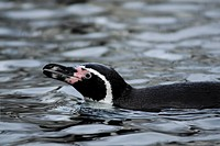 waters, aquatic, ocean, lake, loch, lough, penguin