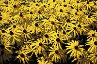 bloom, background, black_eyed Susan, black, Bernhard, abloom