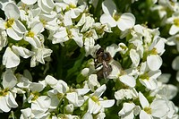 blooms, bee wings, bloom dusting, berne, bees, blumenstaengel, animals