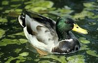 federn, anas, anatinae, animals, aves
