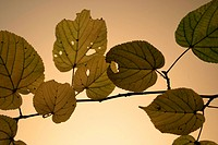 Foliage, autumn, close-up, CLOSE, brown, alfred (thumbnail)