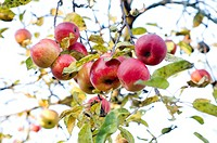 Closeup, apple, close-up, close, calorie, delicious, agriculture (thumbnail)