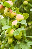 closeup, apple, close_up, close, calorie, delicious, agriculture