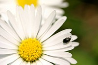 bloom, alfred, bellis, beetle, Austria, abloom