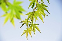 maple, tree, leaf, leaves, sky, green, nature