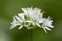 fruehlingserwachen, alfred, allium, bloom, bloomer, blooming