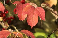 berry, colored, brown, branch, autumn