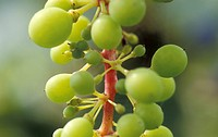 healthy, burgenland, grapes, fruit, calf, robert, austria