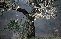 calf, bloom, buds, blooms, blooming, fruit_tree, austria