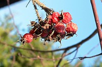Branches, berne, branch, blurred, berries, brown, arid (thumbnail)