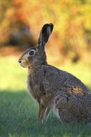Rasen, animals, brown, bunny (thumbnail)