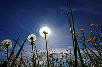 blowball, flower, crowfoot, farmland, aue, outside, flowers