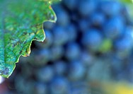 fruit, autumn, calf, blue, autumn_like, grape vine, austria