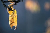 calf, autumn, burgenland, branch, autumn_like, colored, austria