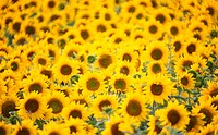 helianthus, beaming, glowing, calf, blitheful, Lower Austria, austria