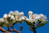 pear tree, pear, bloom, spring, garden, deciduous tree, fruit