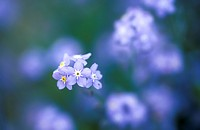 fragile, blue, forget_me_not, dainty, calf, garden, austria