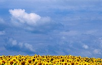 robert, burgenland, helianthus, clouds, calf, austria