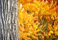 colored, autumn, calf, bark, autumn_like, colorful, austria