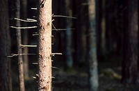 Fir, branch, dry, calf, burgenland, austria (thumbnail)