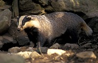 badger, carnivora, brown, animals