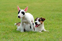 Domestic animal, jack russell terrier, pet, terrier, russell, close up, dog (thumbnail)