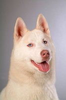 cute, husky, loving, canines, domestic, siberian husky