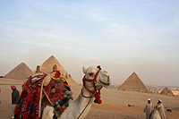 Egypt, Giza, Pyramids, Camels (thumbnail)