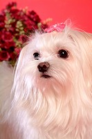 posed, domestic, pose, house pet, canines, posing, maltese