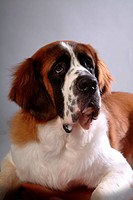 Pose, st bernard, house pet, canines, domestic, saint bernard (thumbnail)