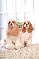 house pet, cocker spaniel, canines, domestic, american cocker spaniel, pose, spaniel