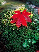 plants, red, plant, leaf, yellow, moss