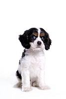 canines, animal, domestic, cocker spaniel, dog, pet