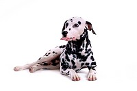 domestic, animal, dalmatian, dalmation, dog, pet