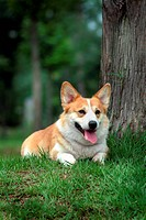 canines, animal, domestic, corgi, dog, pet