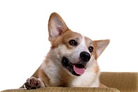 domestic, loving, paw, canines, corgi