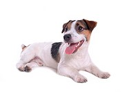 canine, russell, close up, domestic animal, terrier, jack russell terrier