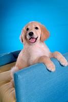 looking away, animal, domestic animal, golden retriever, dog, close up, pet