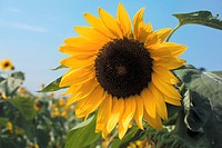 flowers, plant, flower, plants, sunflower, bloom, nature