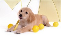 Domestic animal, golden retriever, ball, umbrella, retriever, looking up, petdog (thumbnail)