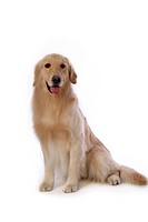 retriever, animal, golden retriever, petdog, dog, domestic animal, pet