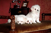 pose, maltese, house pet, canines, domestic, Maltese