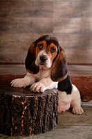 cute, hound, loving, canines, domestic, basset hound