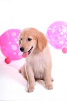 looking away, golden retriever, domestic animal, balloon, retriever, close up, Golden Retriever