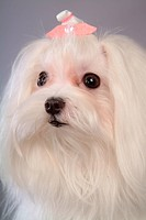 posed, domestic, pose, house pet, canines, maltese