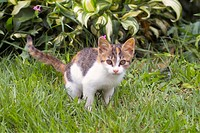 cute, domestic, furry, kitty, kitten, house pet, feline