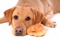 House pet, domestic, cute, loving, canines, labrador retriever (thumbnail)