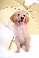 looking away, golden retriever, domestic animal, umbrella, retriever, close up, petdog