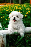 Posed, domestic, pose, house pet, canines, posing, maltese (thumbnail)